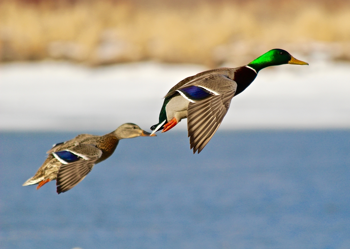 All-Inclusive Waterfowl Hunting Packages include the following: